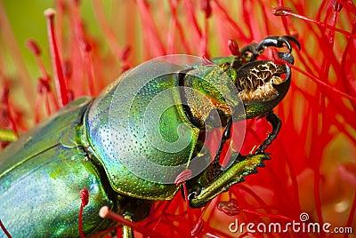 Dead Golden Stag Beetle on Callistemon flower