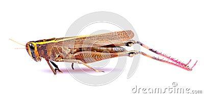 Dead grasshopper