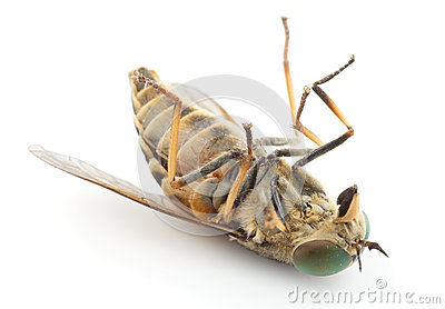 Dead horsefly, isolated