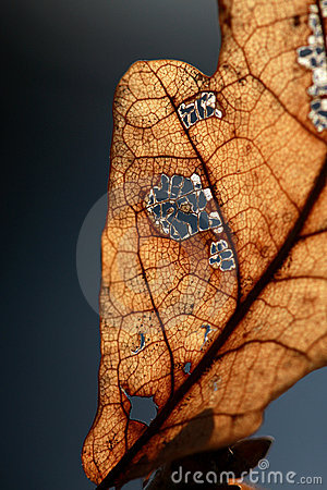 Free Dead Leaf Royalty Free Stock Image - 4303686