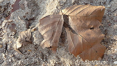 Dead Leaf in the Sand