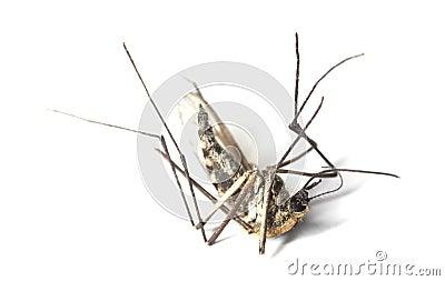 Dead mosquito
