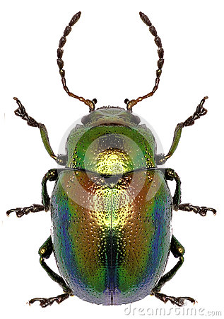 Free Dead-nettle Leaf Beetle On White Background Royalty Free Stock Image - 75743836