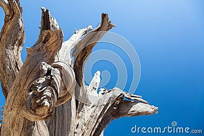 Dead old tree.