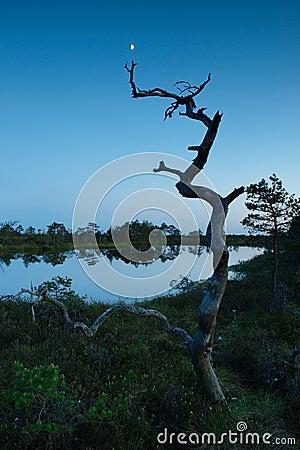 Dead pine tree in a marsh