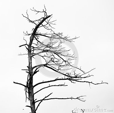 Dead pine trees Stock Photo