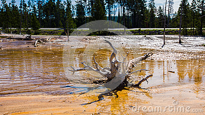 Dead pine in wetlands with geothermal in yellowstone park