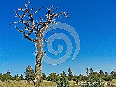 Dead Ponderosa Pine Tree