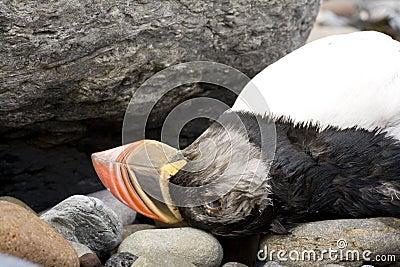 Dead puffin bird