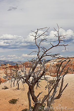 Dead small tree at Bryce Canyon