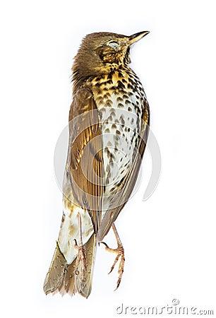 Dead song thrush bird