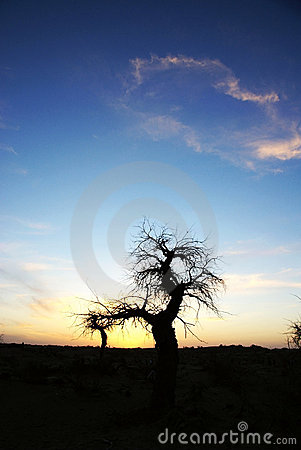 Dead standing tree in sunset