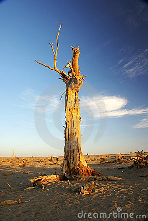 Dead standing tree with sunset sunshine