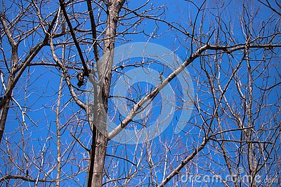 Dead tree and blue sky Stock Photo