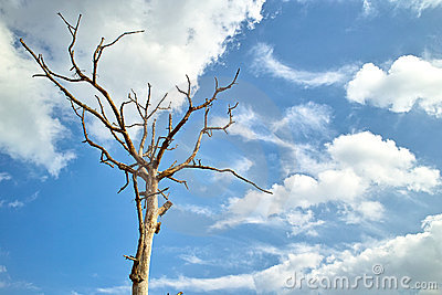 Dead tree in the blue sky white clouds