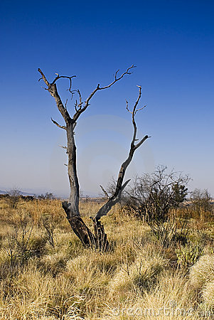 Dead Tree in Bushveld