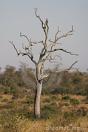 Dead tree in the bushveld