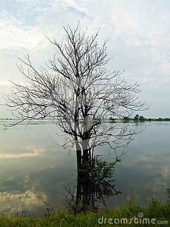 Dead tree in flood