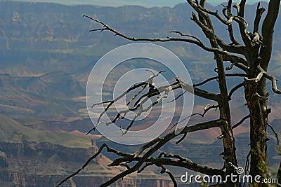 Dead tree, Grand Canyon