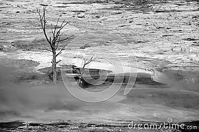 Dead tree at mammoth hot springs