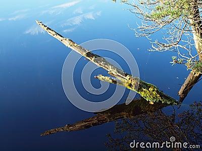 Dead tree in a marsh lake