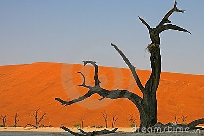 Dead tree in Namib
