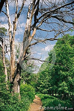 Dead tree near path