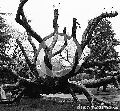 Dead Tree in Park