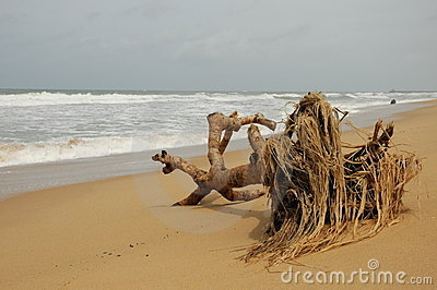 Dead tree on sandy beach