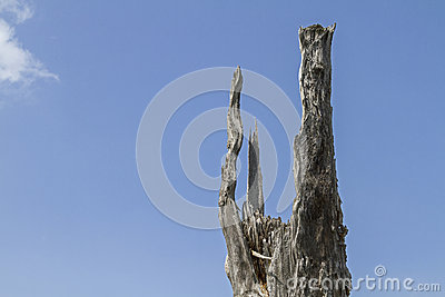 Dead tree stump