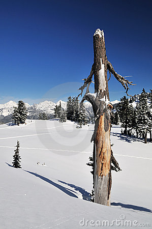 Dead tree trunk and mt. shuksan