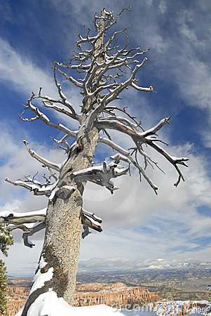 Dead tree under snow in Bryce Canyon