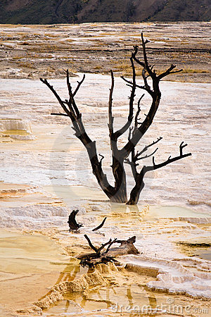 Free Dead Trees At Mammoth Hot Springs Stock Photography - 17706582