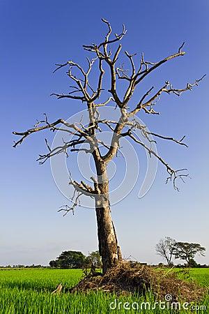 Dead trees Dried.