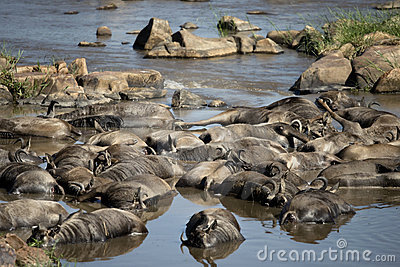 Dead wildebeest in river, Tanzania