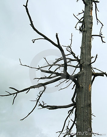 Dead-wood on overcast background