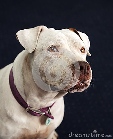 Deaf and blind white Pitbull smiling in a portrait head shot