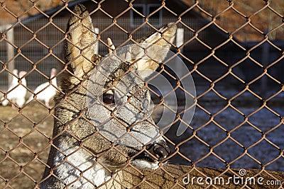 Dear behind fence