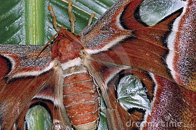 Deatails of an Atlas moth