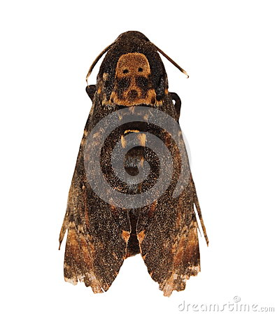 Death s Head Hawkmoth (Europe)