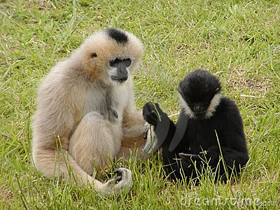 Debate do macaco