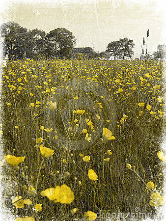 Free Decayed Buttercup Fields Stock Photos - 857823