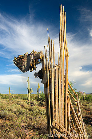 Free Decaying Saguaro Cactus Royalty Free Stock Photos - 1101838