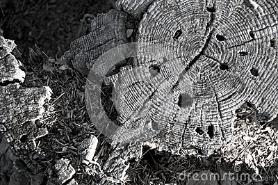 Decaying tree stump