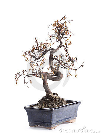 Free Deceased Bonsai Tree Royalty Free Stock Photography - 22057667