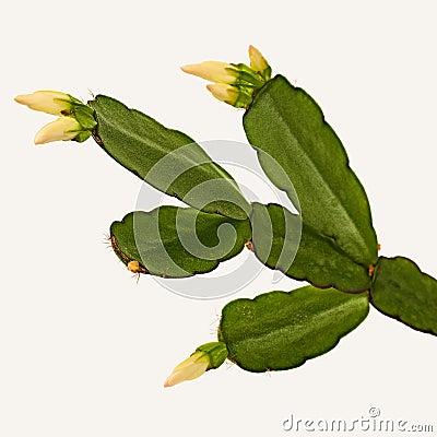 Free Decembrist Flower. Cactus Schlumbergera Truncata Stock Image - 92368691