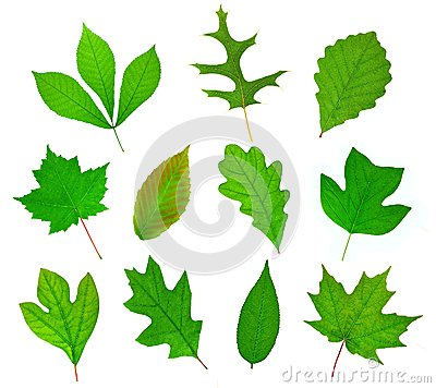 Free Deciduous Leaf Collection Stock Photos - 41512043