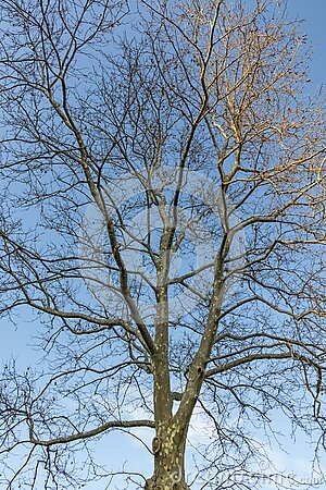 Deciduous trees in winter season in nature Stock Photo