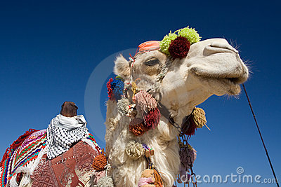 Decorated Camel in Egypt