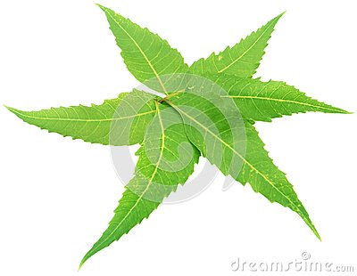 Decorated Neem Leaves